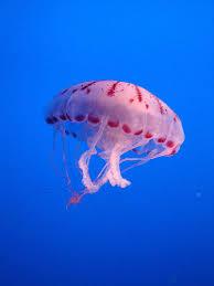 meduse-
